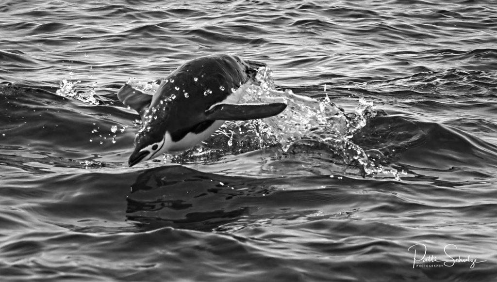 Chinstap penguin swimming